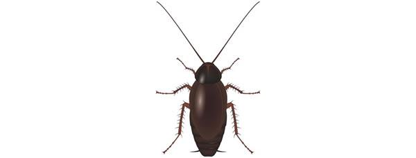 Antalya Doğu Hamam Böceği