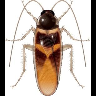 Antalya Kahverengi Çizgili Hamam Böceği İlaçlama